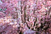 magnolia flower by emanuele molinari