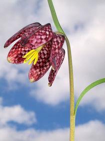 Blüte der Schachbrettblume (chess flower), Makro von Dagmar Laimgruber