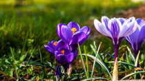 Spring is coming up by Andreas V.