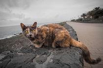 Katze auf Lanzarote by Alfred Derks