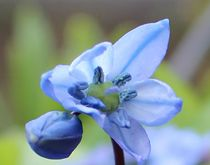 Blume aus Zwiebel in blau von Simone Marsig