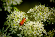 Red Soldier Beetle by Colin Metcalf