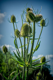 Teasels by Colin Metcalf