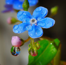 Forget-me-not in drops of rain von Yuri Hope