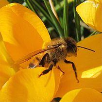 Biene auf Gelb by Angelika  Schütgens