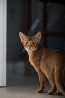 Abessinier Cat Kaufen
