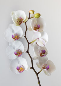 White Orchid by Leighton Collins