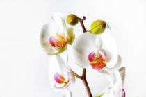 Orchids von Leighton Collins