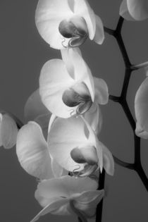 Orchids in Black and white von Leighton Collins