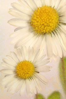 Gänseblümchen von darlya