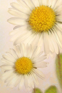 Gänseblümchen by darlya