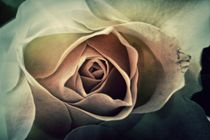Rose-2016-005j-6000