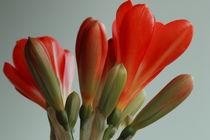 orange Clivia-Blüten von Gisela Peter