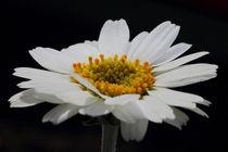 Marageritenblüte auf SCHWARZ by Gisela Peter