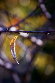 Leaf in winter colors by lauradiaranature
