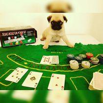 @AROLDOHENRIQUE PUG DOG by Lucas Giardini