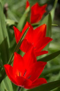 Tulpen  by Stephan Gehrlein