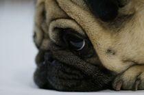 @aroldohenrique pug instagram by Lucas Giardini
