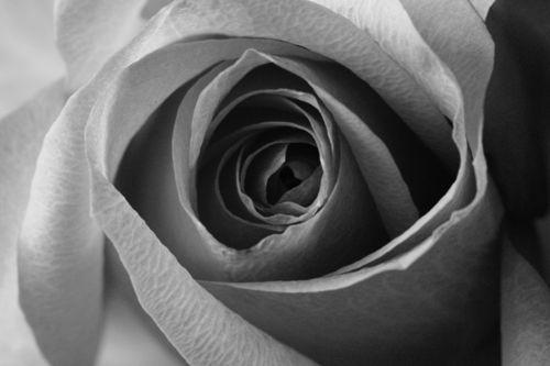 Rose-pink-2016-04-001c-6000sw