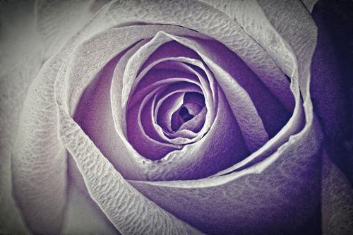 Rose-pink-2016-04-002-6000g