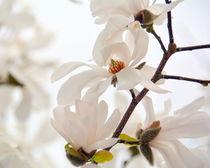 Blütentraum in weiß by gugigei