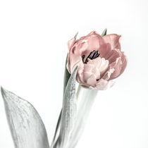 Tulpe von sven-fuchs-fotografie