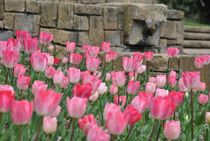 Tulips von Azzurra Di Pietro