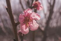 Pink Spring von Alexander Kollmer