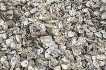Oyster shells by Dave Milnes