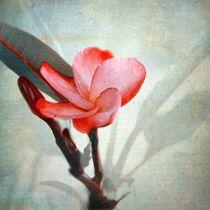 Frangipani by Rosina Schneider