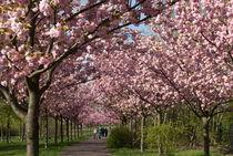 Kirschblüten von Rainer F. Steußloff