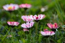 Gänseblümchen von gugigei