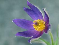 Blütenmakro, Küchenschelle, pulsatilla, pasque flower, blue by Dagmar Laimgruber