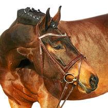 Hübscher Brauner von cavallo-magazin