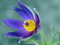 Küchenschelle, pulsatilla, Blütenmakro, blau, pasque flower by Dagmar Laimgruber