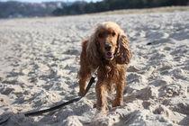 cocker spaniel am Strand von Baabe auf Rügen... soooooo süß, die kleine Maus von Simone Marsig