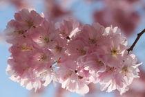 Mandelblüte von Simone Marsig