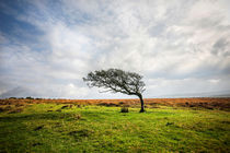 Windswept Tree by David Hare