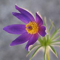 Blütenmakro, Küchenschelle, pulsatilla, pasque flower, blue von Dagmar Laimgruber