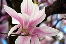 Magnolienblüten von gugigei