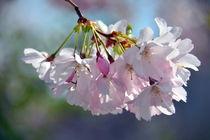 Blütenzweig by gugigei