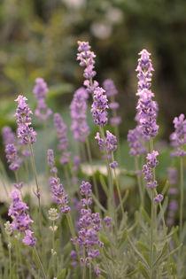 Lavendel by Peggy Graßler
