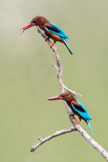 Kingfisher4320