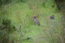 Rabbits von Malcolm Snook