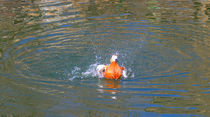 Duck takes off from water von Yuri Hope