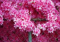 Azaleas In Bloom  by Michael DeBlanc