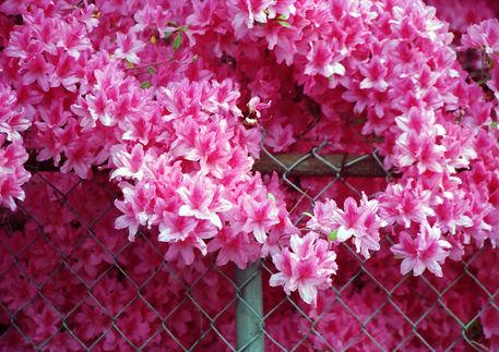 Azaleas-in-bloom