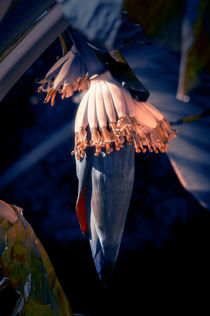 Banana Palm Flowers by cinema4design