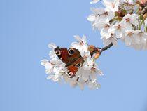 Tagpfauenauge trifft Kirschblüte von Anja  Bagunk