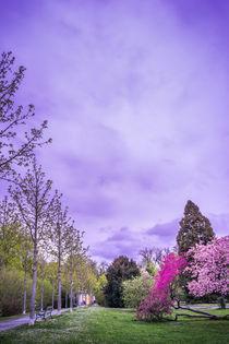 Park with purple blooming Trees by Gerhard Petermeir